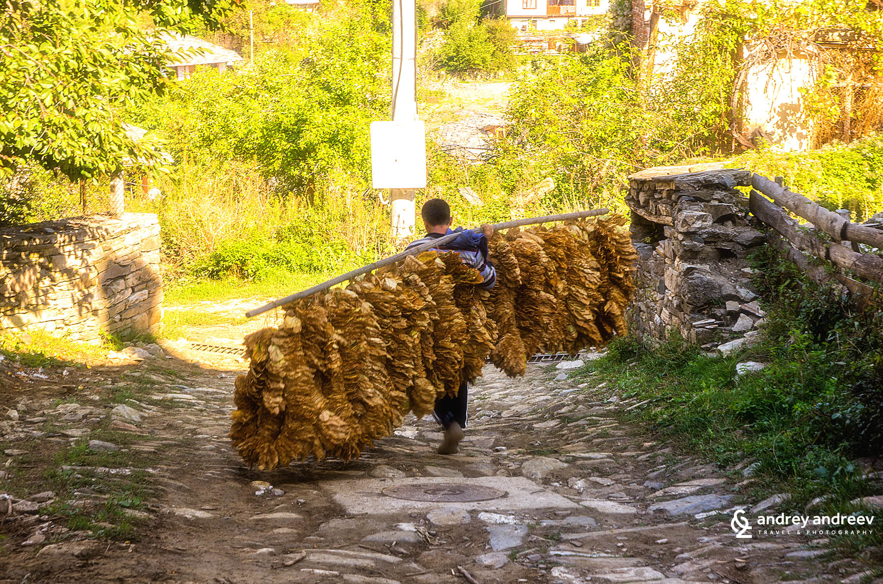 A peasant carrying his his tobacco production in Rhodopean village Dolen, Bulgaria