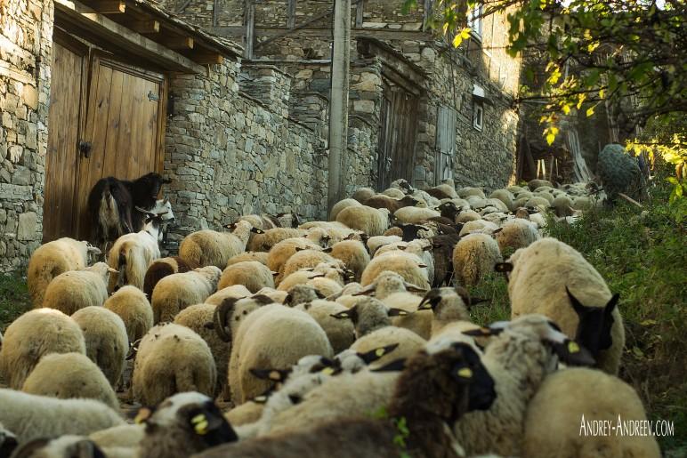 Овце в Долен