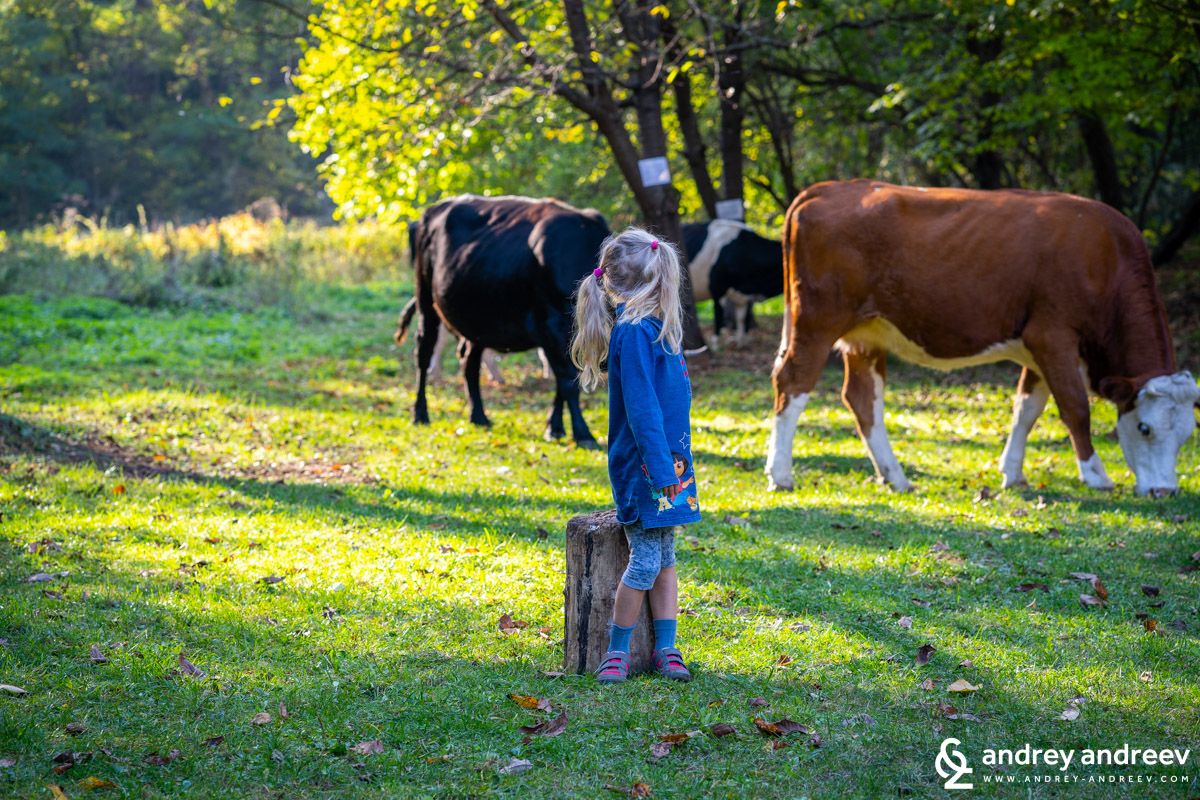 Anna and the cows