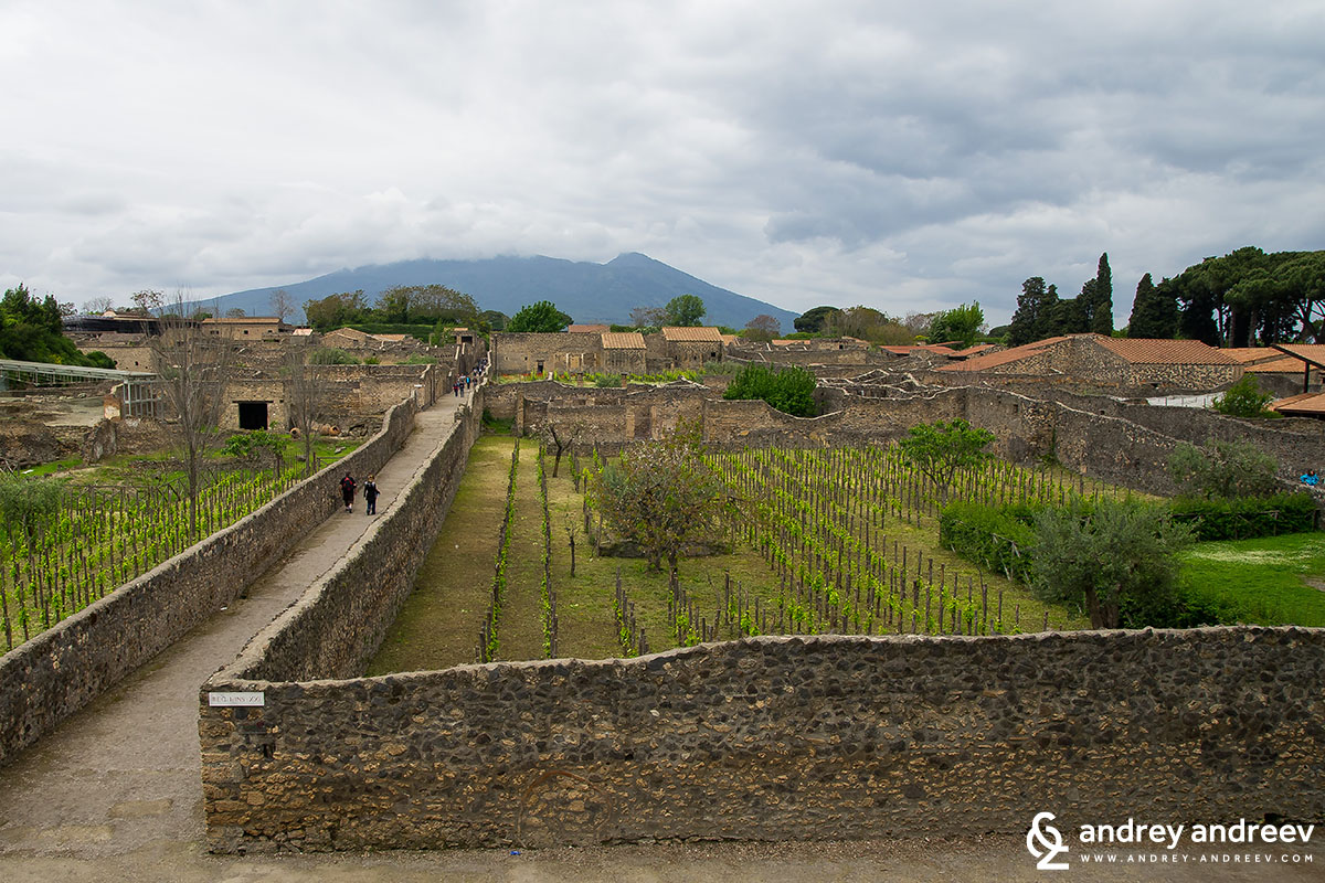 Vineyards of Pompeii 3