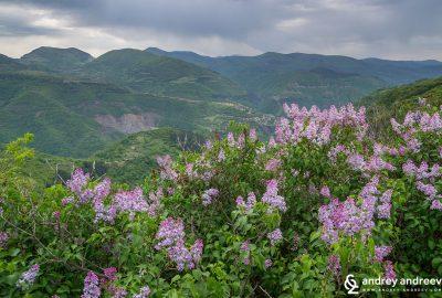 Люляци в Стара Планина