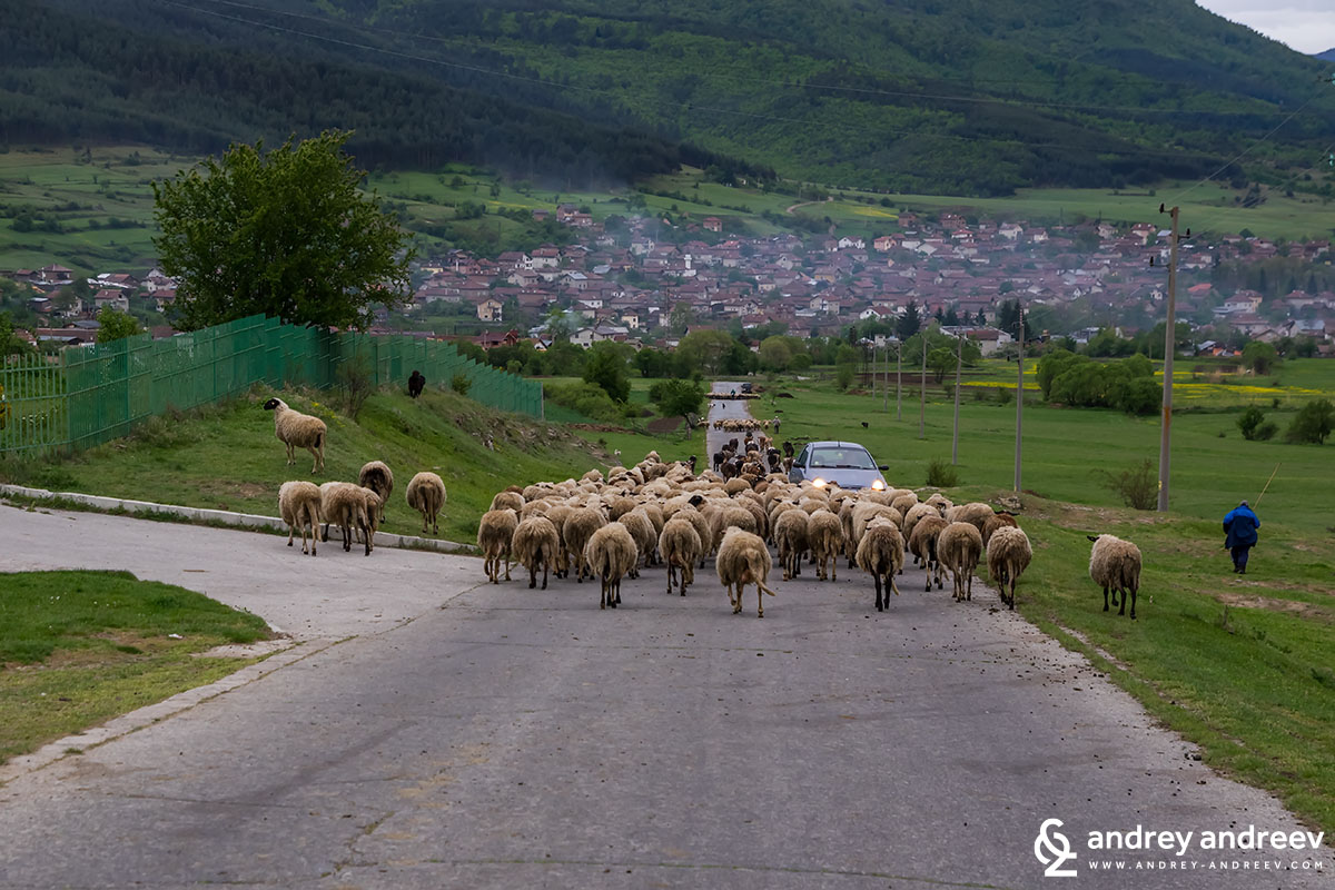 Овце до Дорково