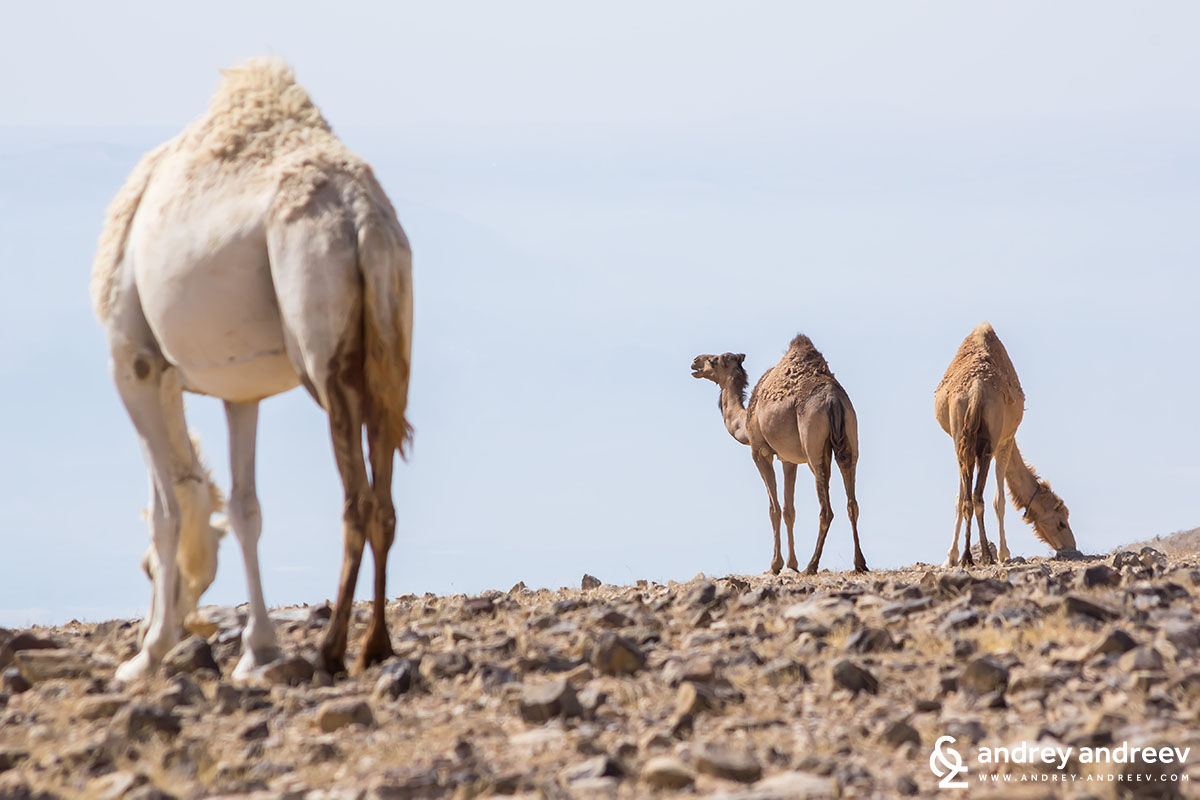 Camels in the Judean desert