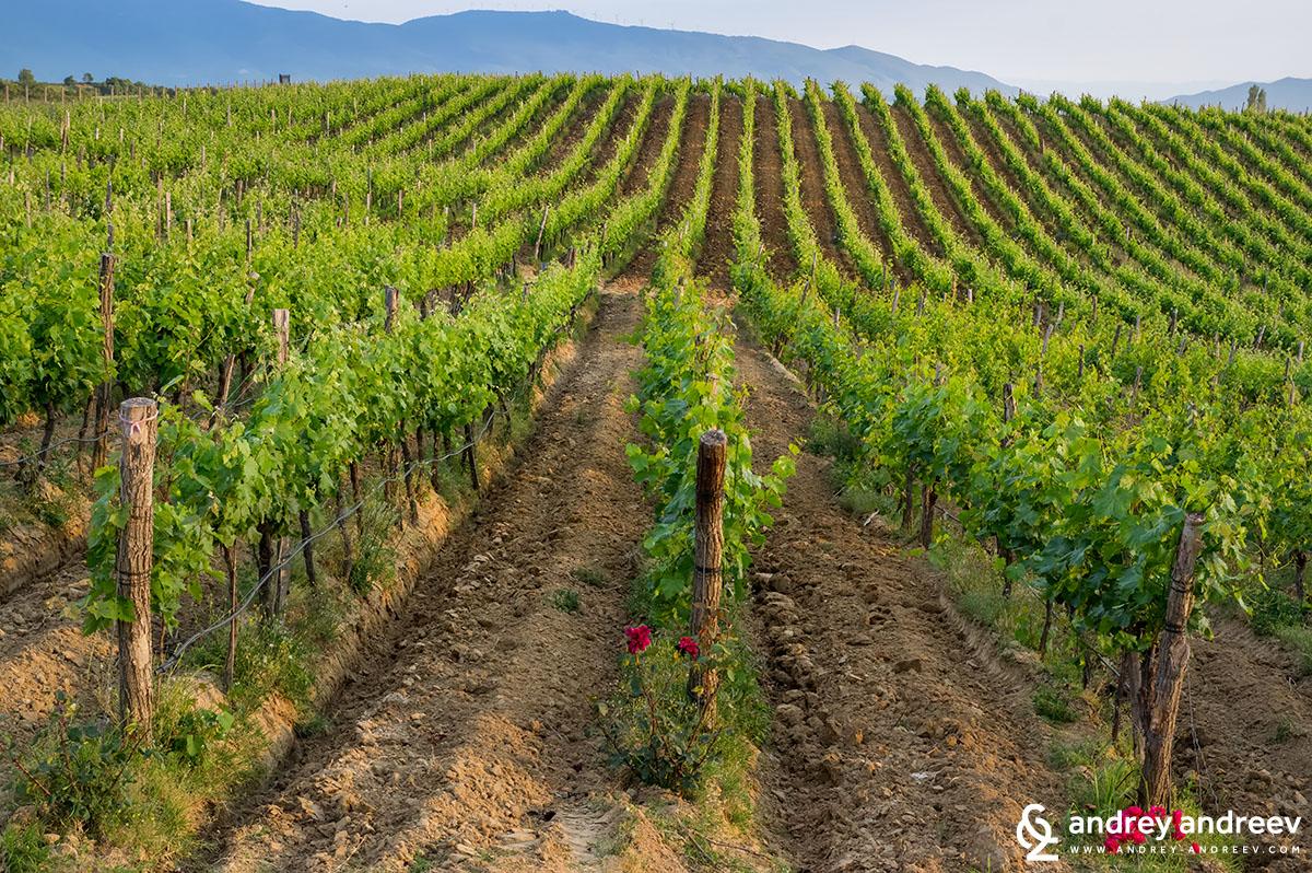Vineyard of Villa Melnik