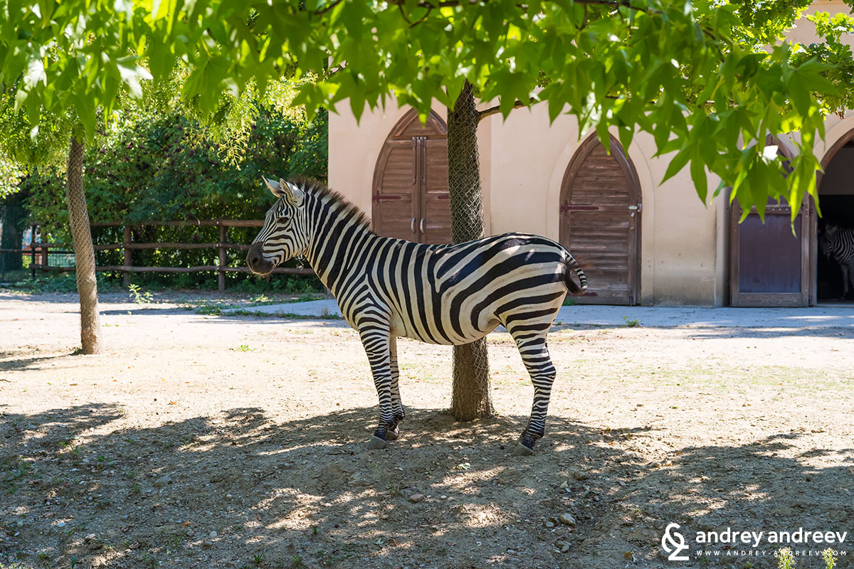 Zebra at the Zagreb zoo
