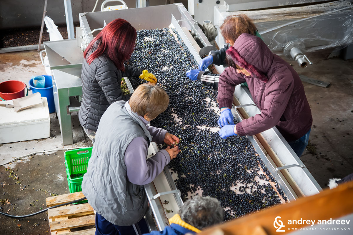 Sorting Merlot grapes, Vintage 2017 - Medi Valley winery, Bulgaria