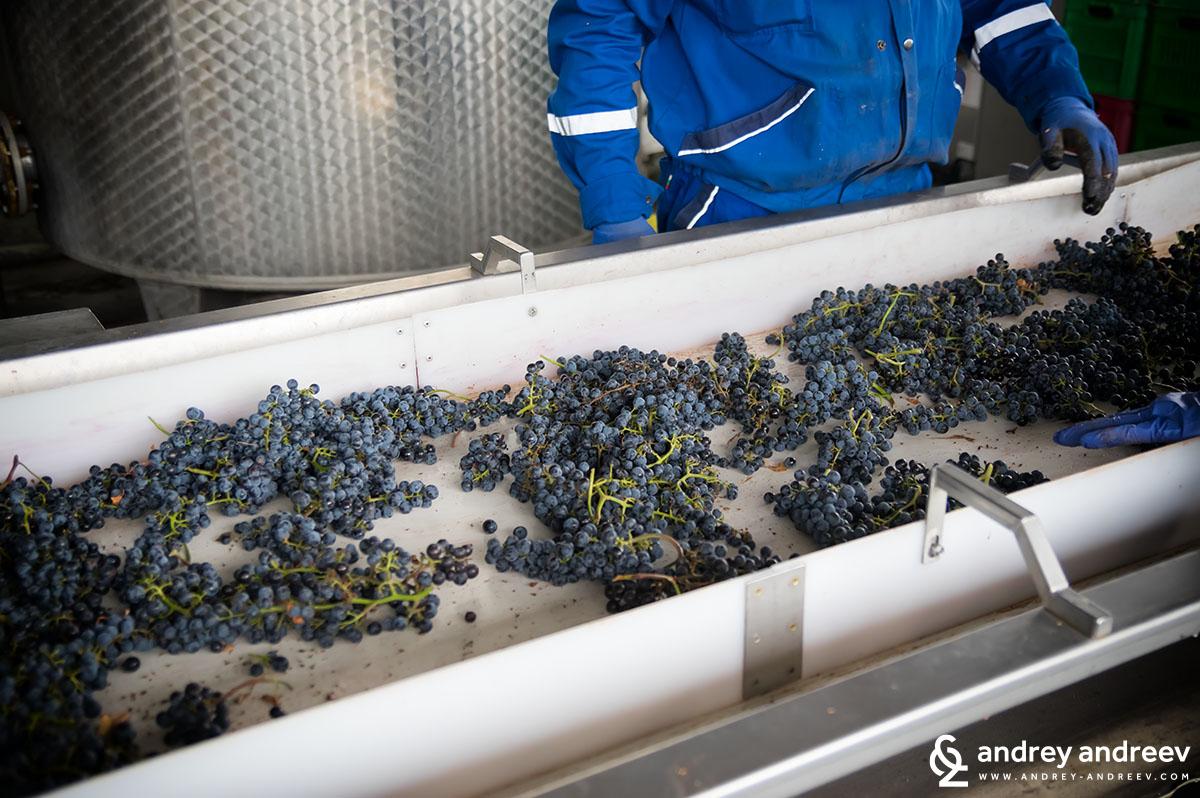 Сортирането на Мерло от гроздобер 2017