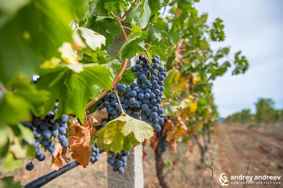 Vineyards ready for harvesting near Smochevo village, Bulgaria