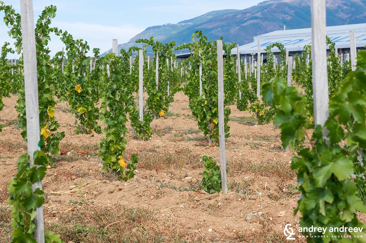 Младите насаждения до винарната