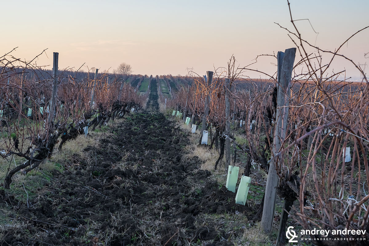 The vineyards of Zagreus