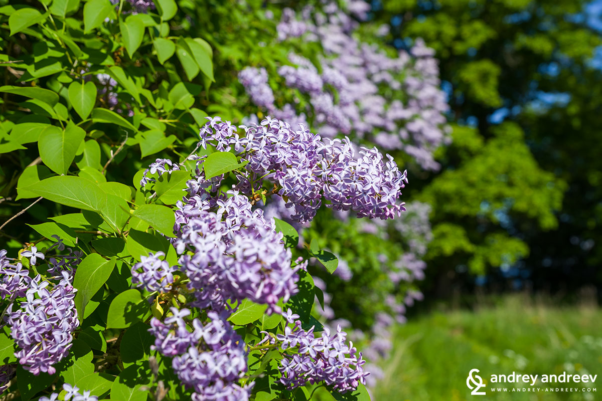 All around the countryside there were many lilacs