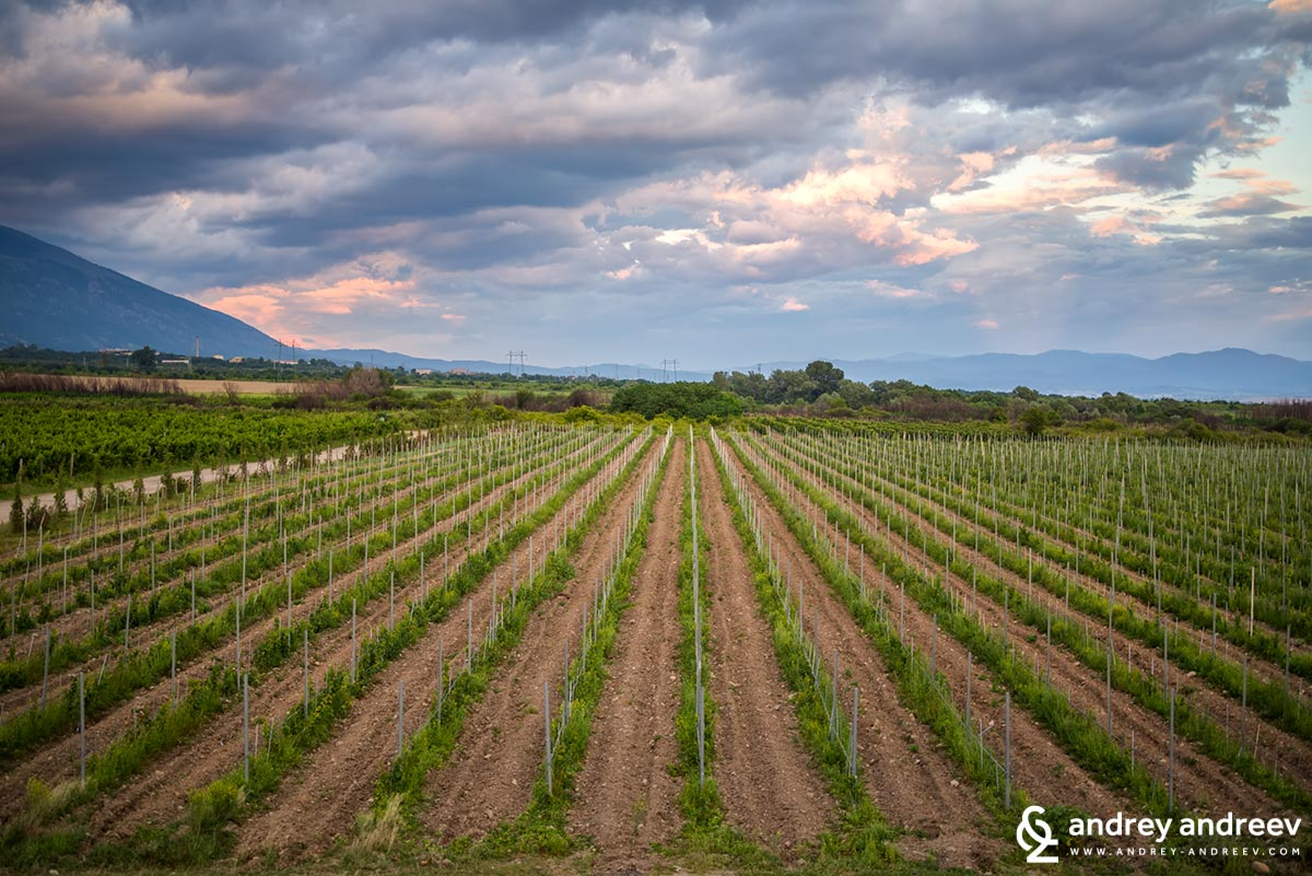 The new vineyards of Chateau Copsa, Bulgaria