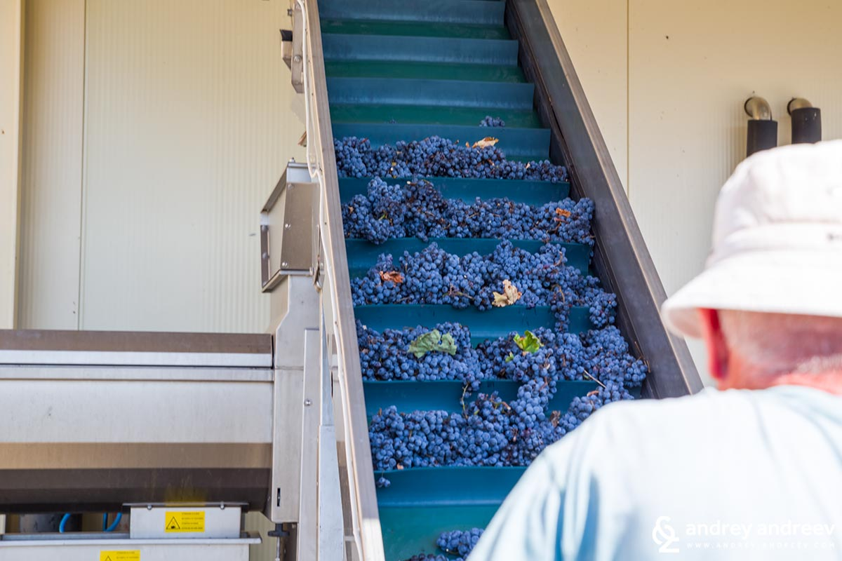 The grapes are moved to the inox containers where they release their juice under their own weight