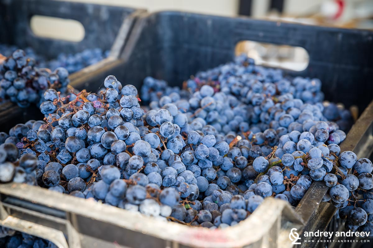 The new vintage of Cabernet Sauvignon, ready to take the way to becoming a wine