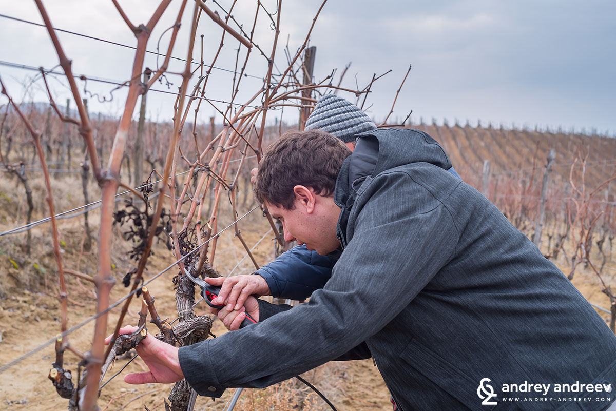 Andrey prunes the vines at Villa Melnik