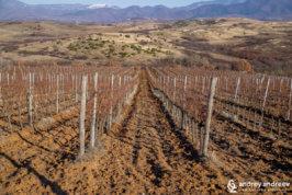 Лозята на винарска изба Рупел