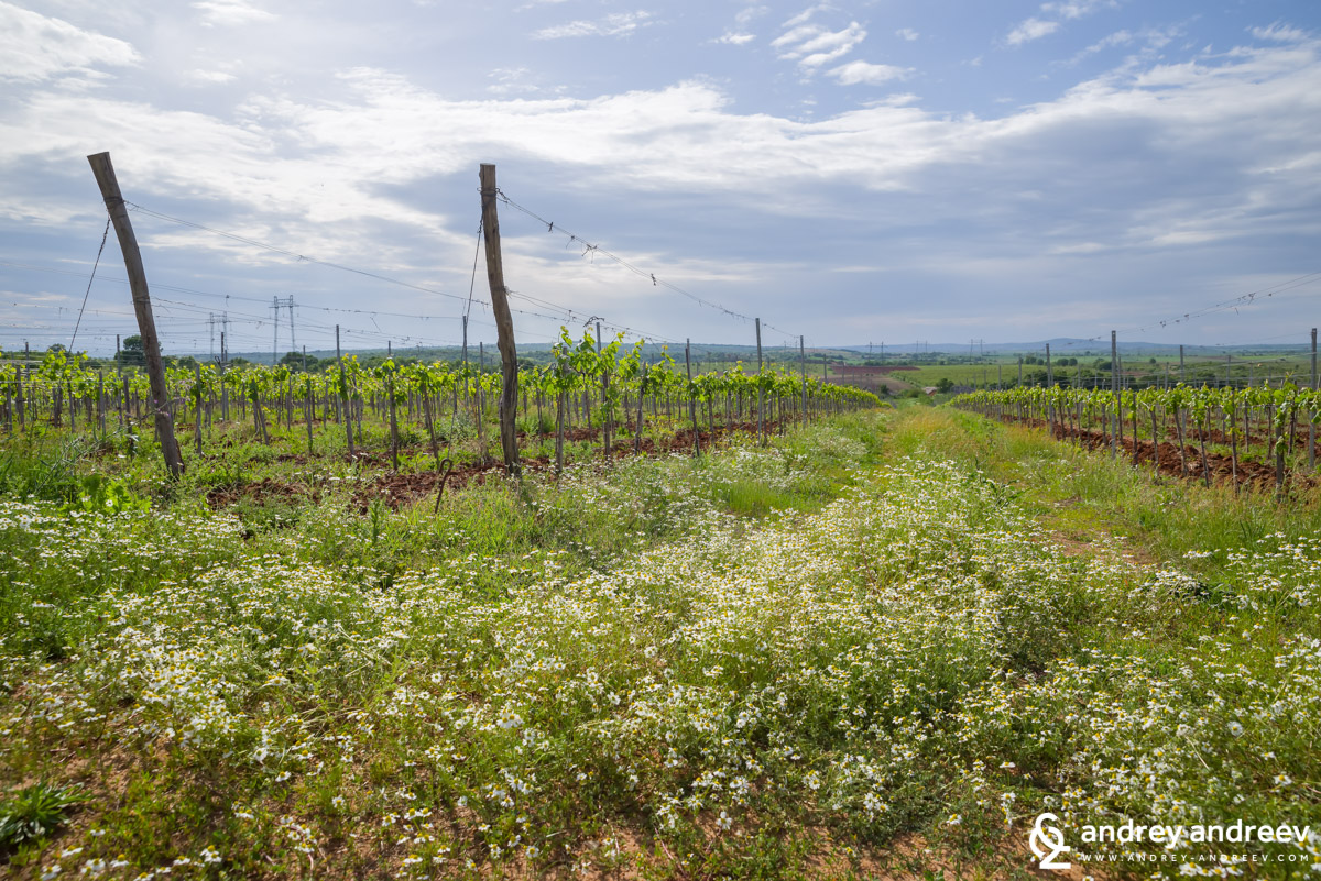 Vineyards with a scent of chamomile in South Sakar mountains, Bulgaria