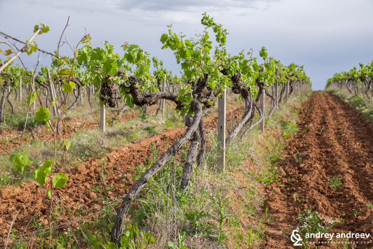 Kolarovo vineyards - I realy enjoy taking photos of the vines