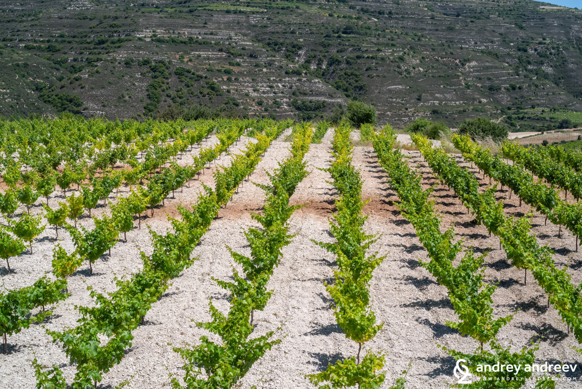 Young vineyards near Omodos village