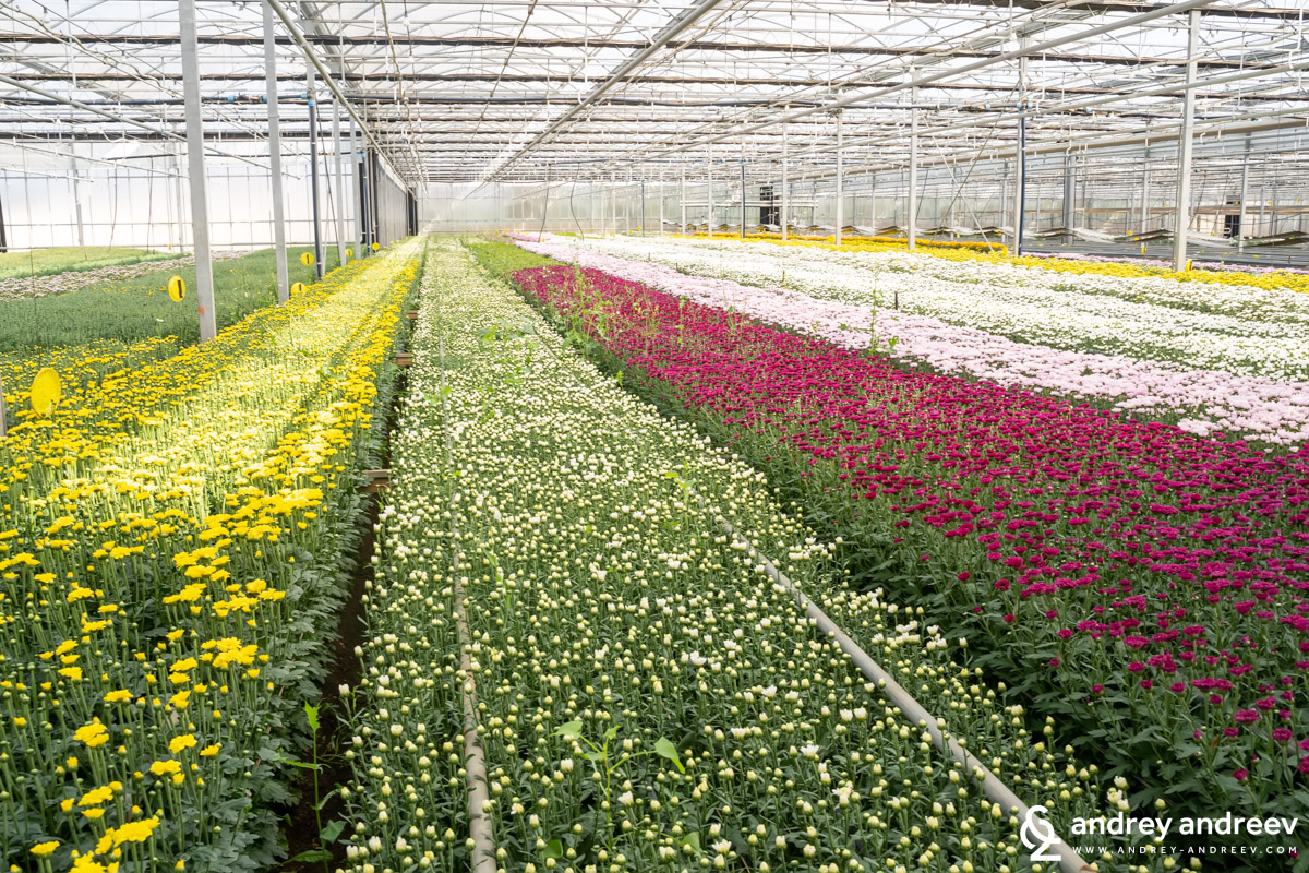 Many rows of blossoming chrysanthemums in Taviano