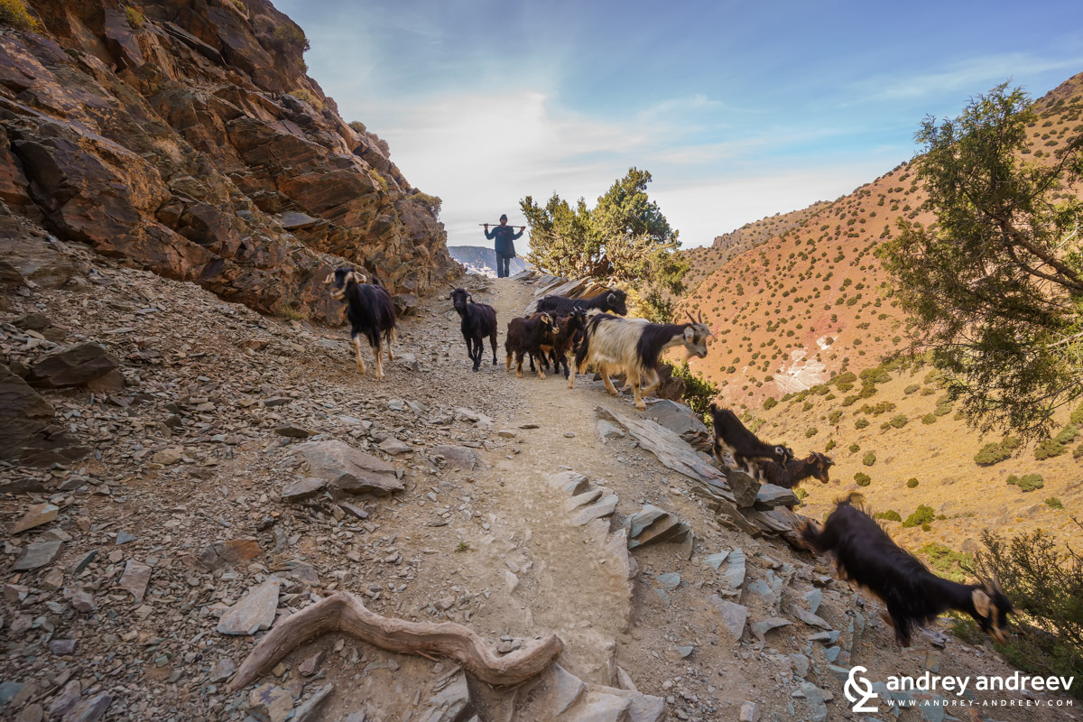 Goats are typical inhabitants of High Atlas