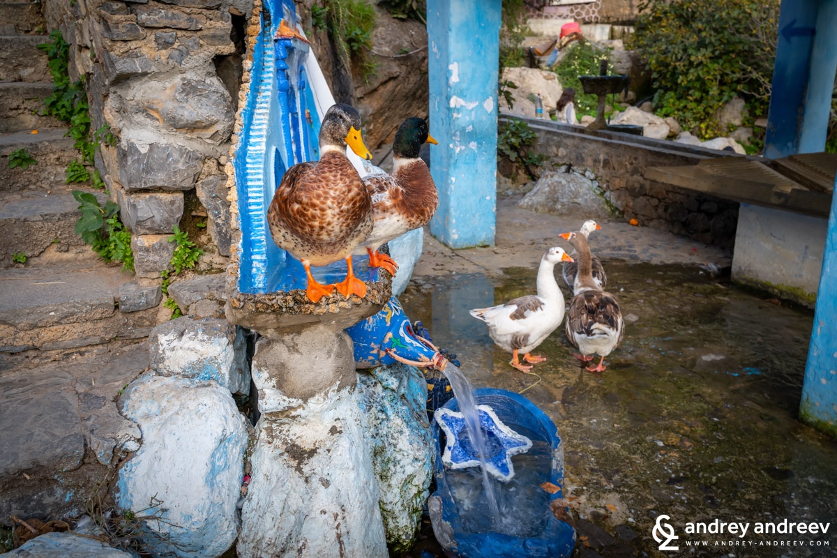 The ducks in Chefchaouen