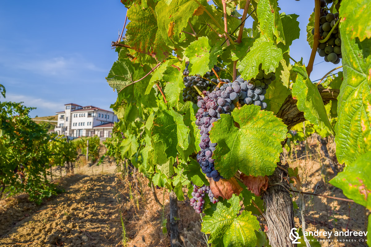 Beautiful views and well-grown grapes at Villa Melnik vineyards