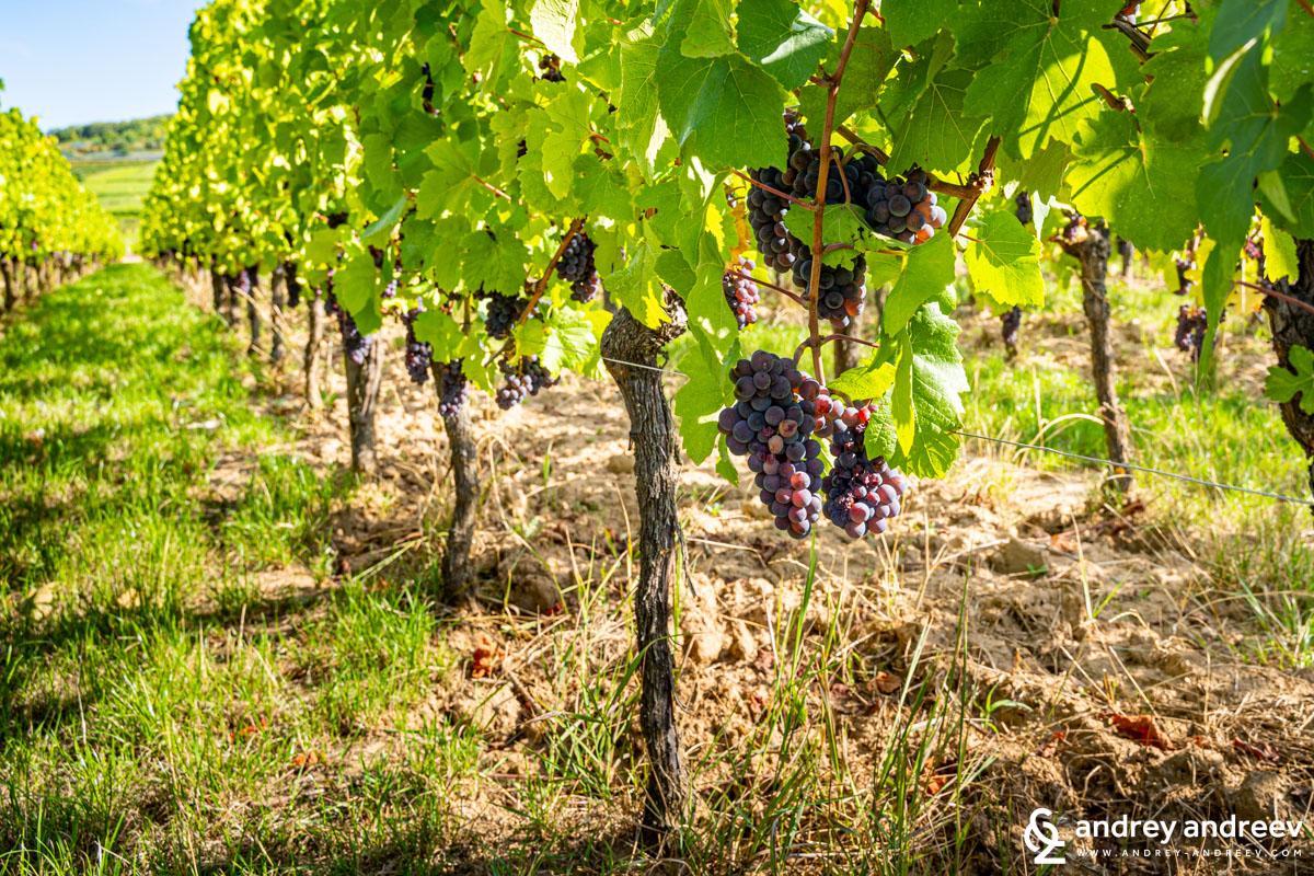 Pinot Gris grape, Alsace, France