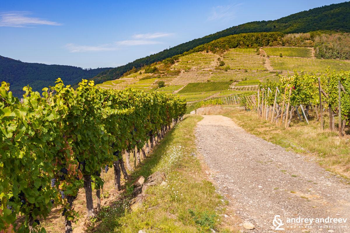Left - Pinot Noir, against us is the Schlossberg vineyard