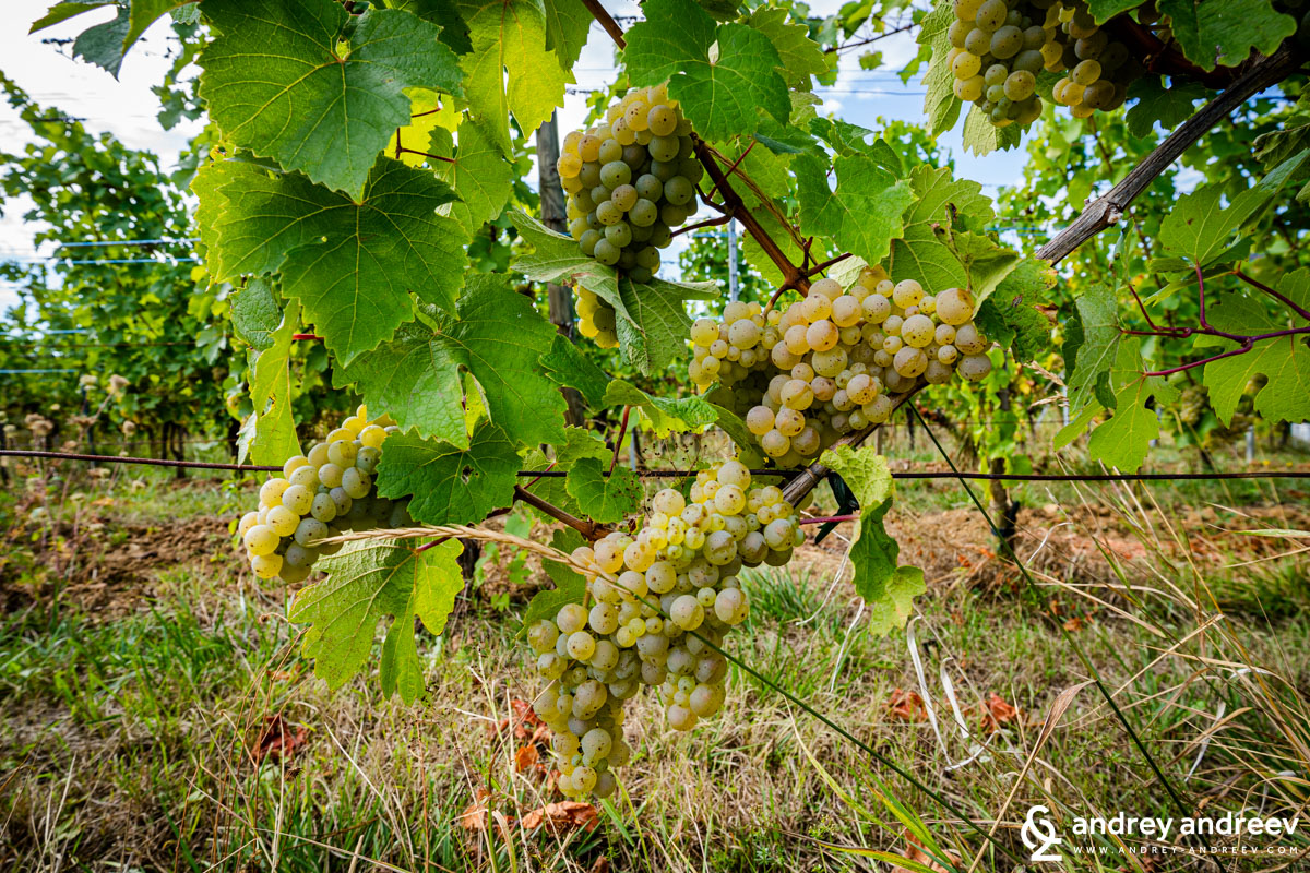 Riesling in Alsace
