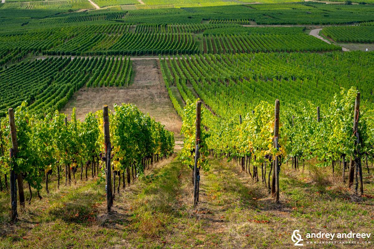 The Altenbourg vineyard