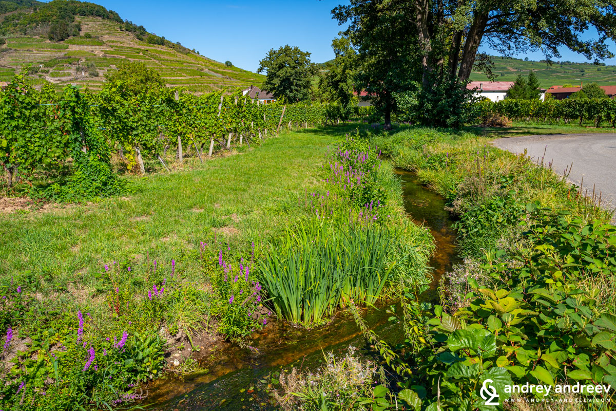 "The ""wine river"" at Domaine Weinbach, Alsace, France"