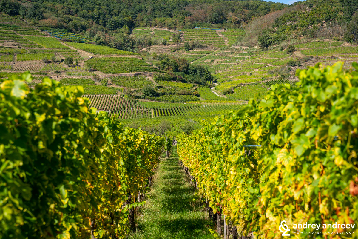 The vineyards between Kientzheim and Kaysersberg with Schlossberg Grand Cru vineyard in the background