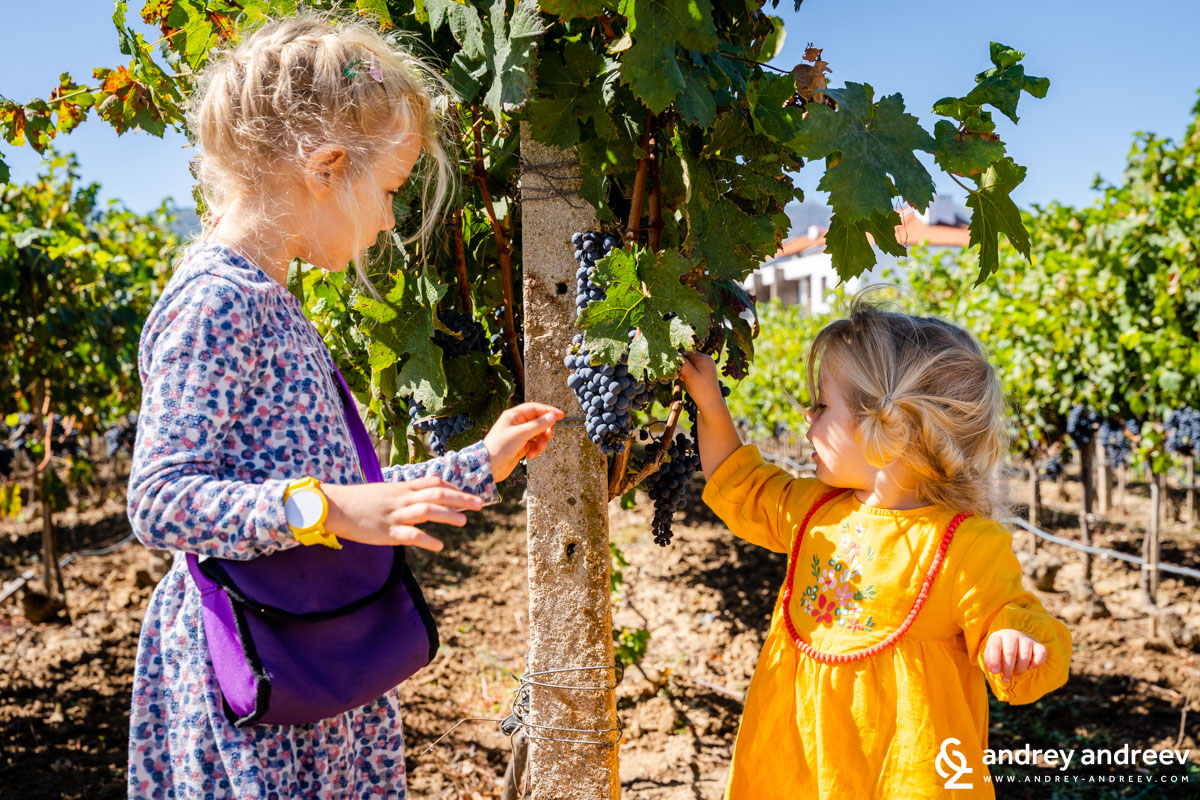 Минахме на разходка из Ува Нестум, а децата се зарадваха на узрялото грозде, нищо, че е от винени сортове