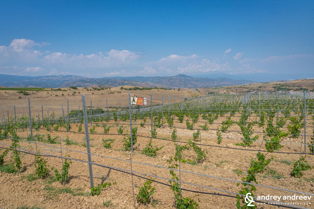 The new plantations of Zlaten Rozhen