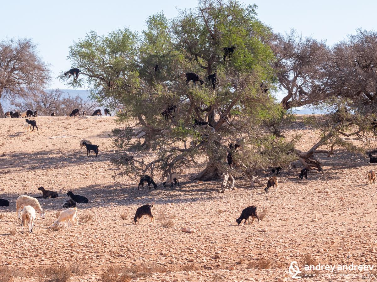 Козите, покатерени на арганово дърво по пътя между Агадир и Есауира