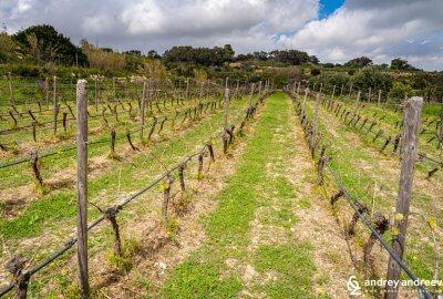 Vineyards in Malta, Maltese wine